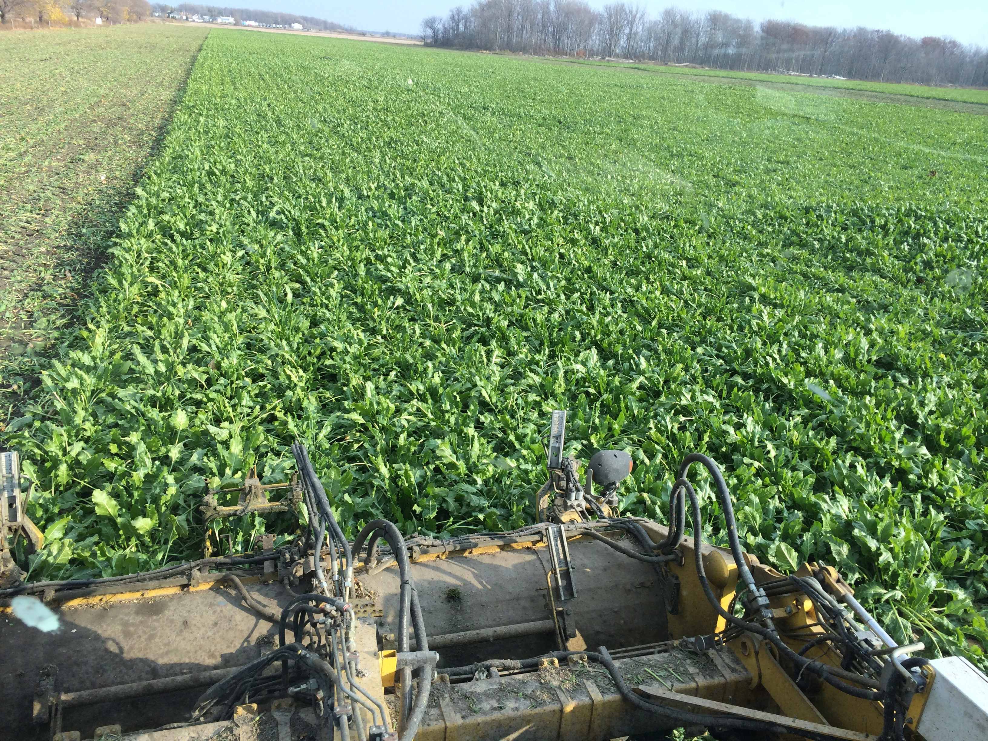Sugarbeets November 2014